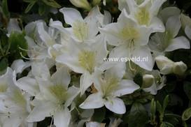 Rhododendron 'Palestrina' (Azalea)