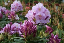 Rhododendron 'Gloriosum'