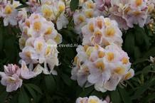 Rhododendron 'Mrs. J.G. Millais'
