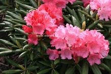 Rhododendron 'Ninotschka'