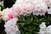 Rhododendron 'Kings Ride'