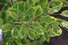 Fagus sylvatica 'Bicolor Sartinii'