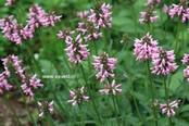 Stachys officinalis (monieri) 'Saharan Pink'