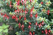 Fuchsia 'David'