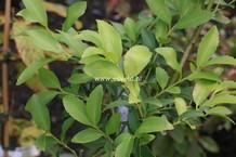 Laureliopsis