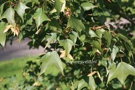 Acer longipes ssp. amplum