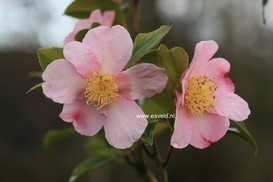 Camellia 'Winter's Star'