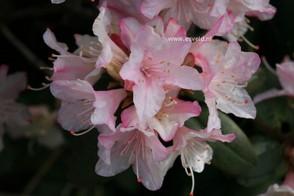 Rhododendron 'Christa Reich'