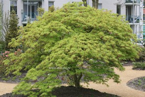 Acer palmatum 'Dissectum'