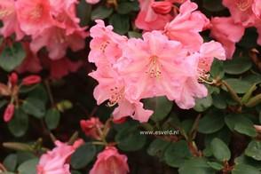Rhododendron 'Brickdust'