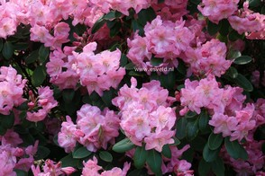 Rhododendron 'Luscombei'
