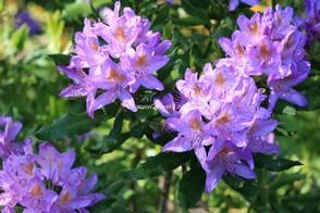 Rhododendron ponticum 'Cheiranthifolium'