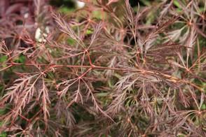 Acer palmatum 'Dr. Brown'