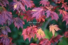 Acer japonicum 'Aconitifolium' ('Maiku jaku')
