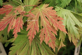 Acer 'Asian Flame'