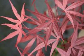 Acer palmatum 'Red Planet'