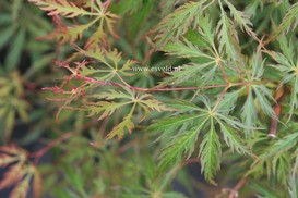 Acer palmatum 'Green Weeper'