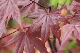 Acer palmatum 'Roter Stern'
