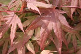 Acer palmatum 'Red Crusader'