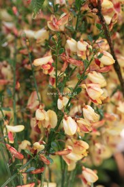 Cytisus 'Goldfinch'