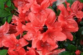 Rhododendron 'Hachjuli' (JULIETTE) (Azalea)
