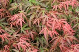 Acer palmatum 'Wilson's Pink Dwarf'