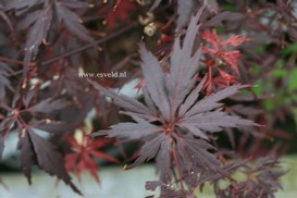 Acer palmatum 'Peve Stanley'