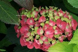 Hydrangea macrophylla 'Satinette'