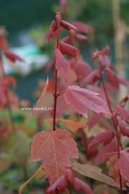 Acer rubrum 'Summer Red'