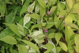 Callicarpa japonica 'Koshima no homate'