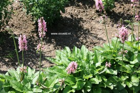 Stachys officinalis 'Pink Cotton Candy'