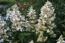 Hydrangea paniculata 'Vera'