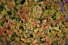 Abelia grandiflora 'Gold Spot'