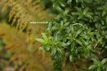 Acradenia