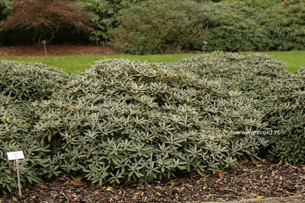 Rhododendron 'Edelweiss'