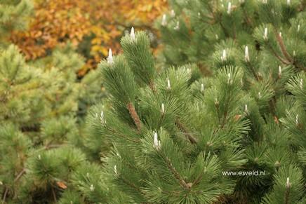 Pinus thunbergii 'Sayonara'