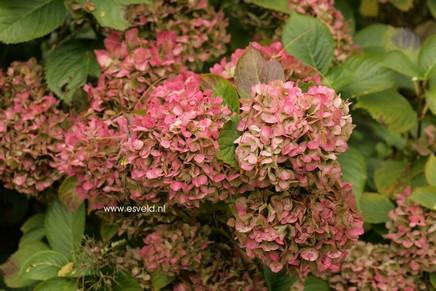 Hydrangea macrophylla 'Prinses Beatrix'