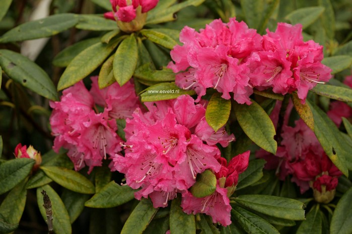 Rhododendron 'Lee's Scarlet'