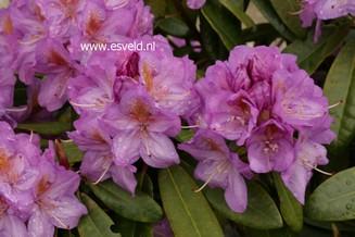 Rhododendron 'Walküre'