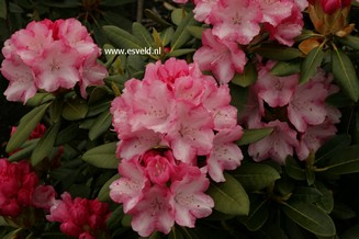 Rhododendron 'Papageno'