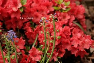 Rhododendron 'Brilliant' (Azalea)
