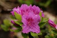 Rhododendron 'Königstein' (Azalea)
