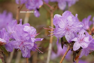 Rhododendron 'Blue Effect'