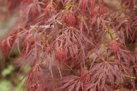 Acer palmatum 'Mioun'