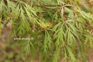 Acer palmatum 'Yamato-shidare'