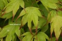 Acer palmatum 'Tsuma-gaki'