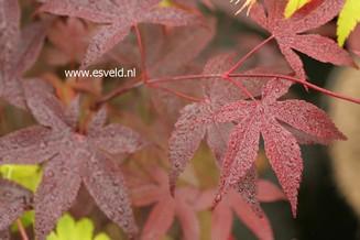 Acer palmatum 'Uncle Red'