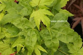 Acer palmatum 'Ukon'