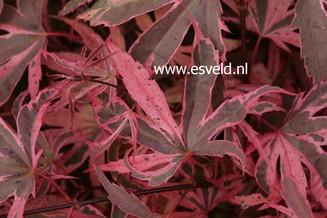 Acer palmatum 'Pink Passion'