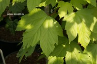 Acer pseudoplatanus 'Torch'